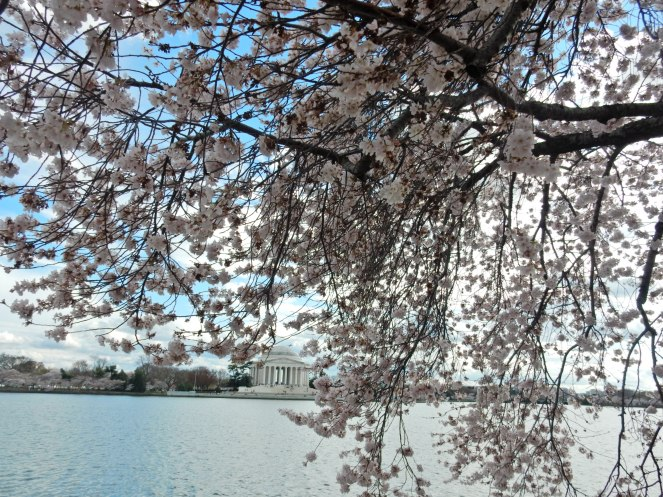 Washington D.C. Cherry Blossom Festival, Cherry Blossom Festival , Cherry Blossoms, D.C. Cherry Blossoms, Washington D.C., District of Columbia, Springtime, Spring fling, spring flowers, flowering trees, sarah in style, sarahinstyle.com, Sarah Meyer, Tidal Pond, Jefferson Memorial, DC Monuments, Ruffled Pink Blouse